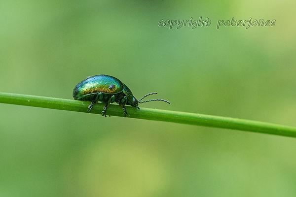 mint beetle_II.jpg