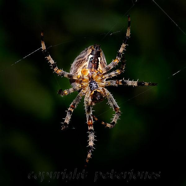 garden orb spider.jpg