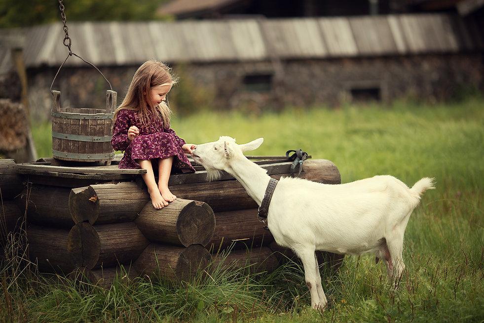 Little girl feeding a goat sitting on a