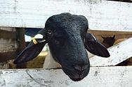 sheep_portrait_edited.jpg