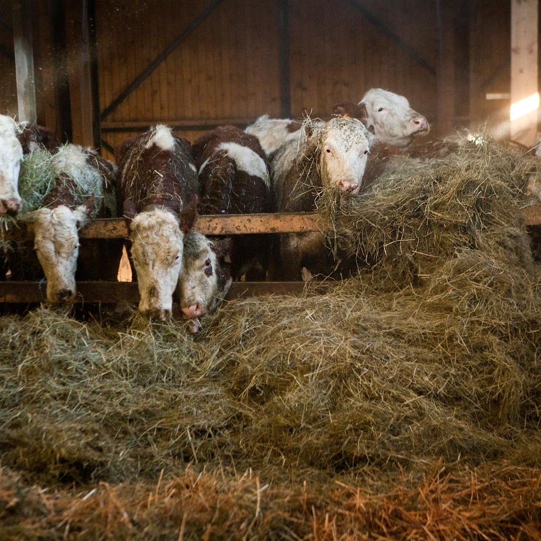 les vaches de la ferme de Maneguet