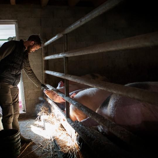 les cochons de la ferme de Maneguet
