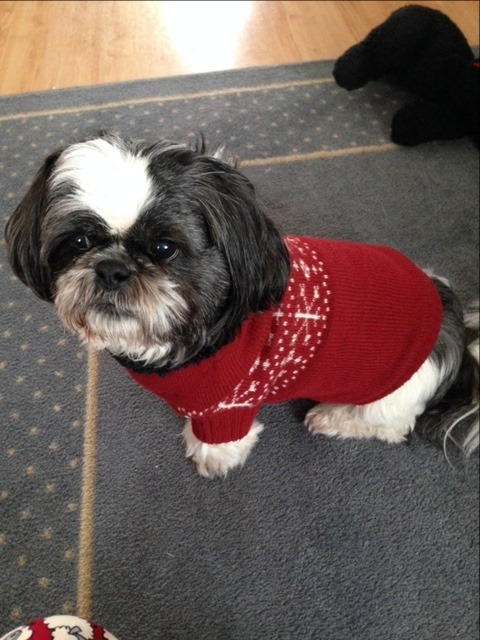 Murphy looking so handsome in his sweater! All bundled up and ready for his walk!