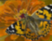 Schaffer - Painted Lady.jpg