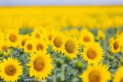 sunflower-field-near-me-colby-farm-massa