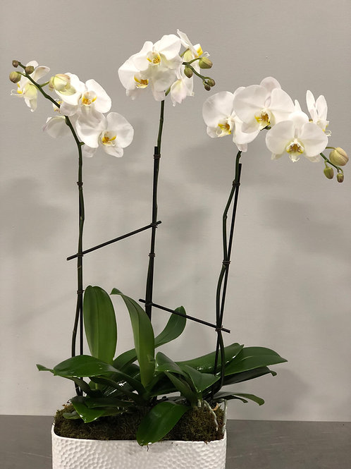 White Ochids