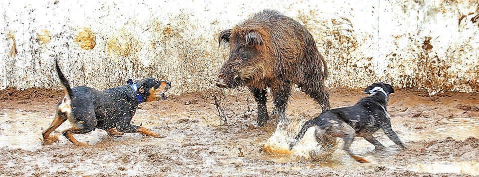 Dogs Hunting Hogs.jpg