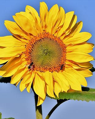 sunflower-3585282_1280.jpg