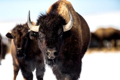 Buffalo Great Plains