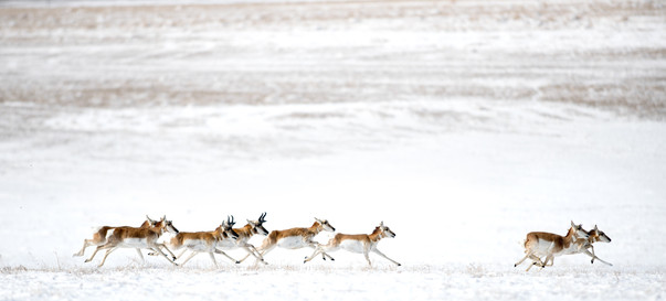 Antelope Great Plains.jpg