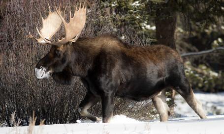 Bull Moose Winter