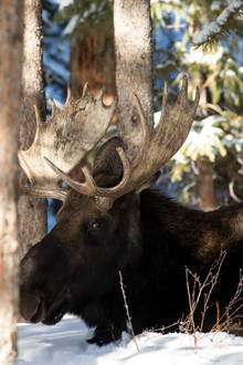 Moose Looking at You
