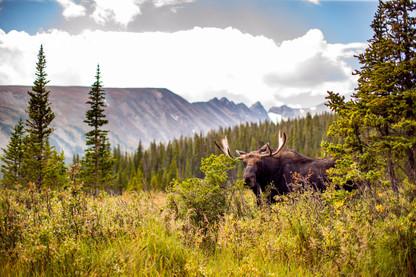 Bull Moose at Long Lake