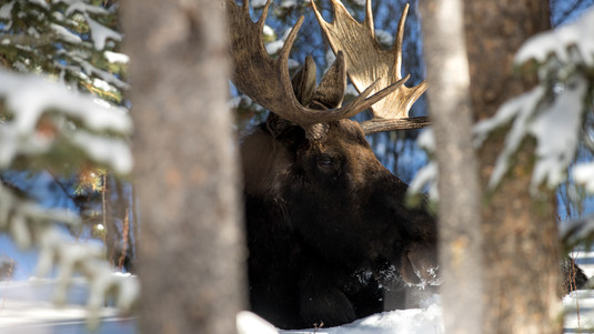 Moose Bedding in Snow