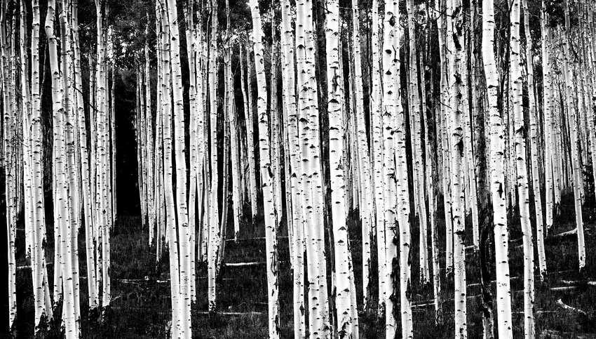 Black and White Aspens