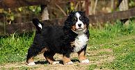 cuccioli-bernese-1.jpg