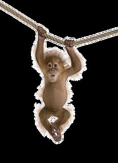 kisspng-monkey-clip-art-an-orangutan-han