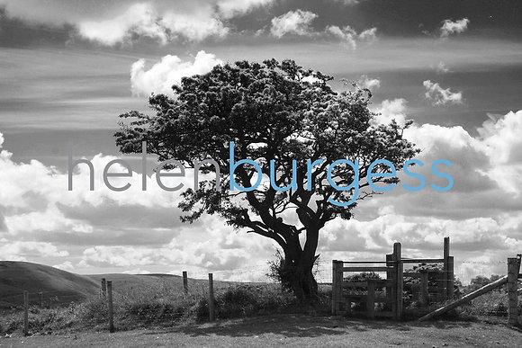 LONG-MYND TREE: ORIGINAL