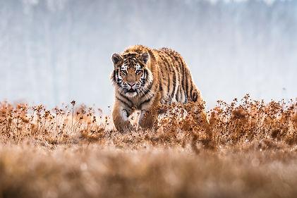 Siberian Tiger running. Beautiful, dynam
