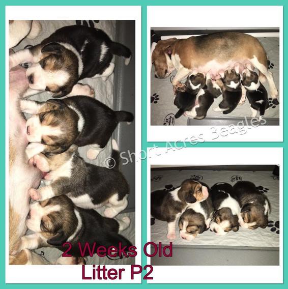 Litter P2