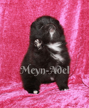 Meynadel Scath Sa Keara - Black Parti Factor Pomeranian Pledge