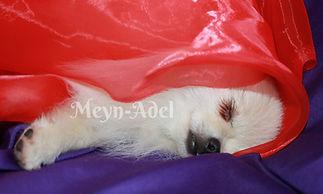 Meynadel Winzige Krumel - Cream Pomeranian sleeping