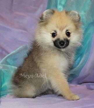 Meynadel Clarabel Stella - Cream Sable Pomeranian
