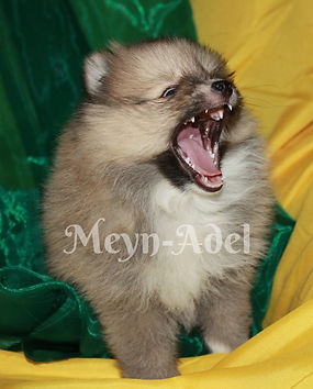 Meynadel Tablou Es Zenon - Cream Sable Parti Factor Pomeranian