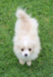 Browdeen Elvira Pintaros - Cream Parti Factor Pomeranian in Puppy Uglies