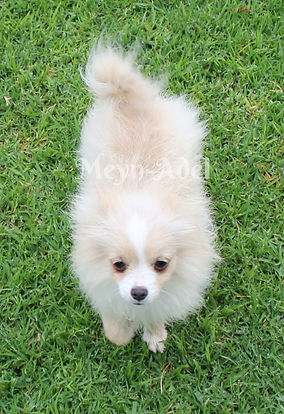 Browdeen Elvira Pintaros - Cream Parti Factor Pomeranian in Puppy Uglies