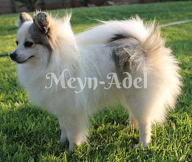 Browdeen Grichica Bonita of Meynadel - Cream Sable Parti