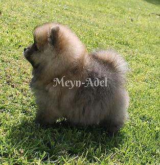 Meynadel Vasil Flavi'urs - Pomeranian Puppy groomed