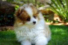 Meynadel Puppies - Orange Sable Parti