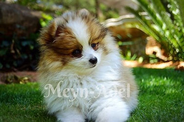 Meynadel Puppies - Orange Sable Parti