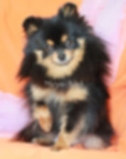 Duches Dolores - Orange Sable Pomeranian