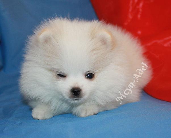 Meynadel Valkea Lilja - Cream Party Pomeranian Winking