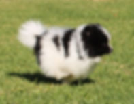 Meynadel Arcadia Galena of Browdeen - Black Parti Pomeranian puppy running