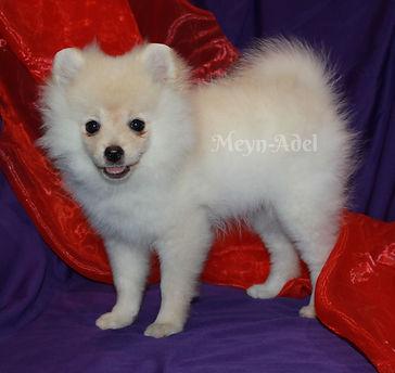 Meynadel Leyna Des Lene - Cream Pomeranian