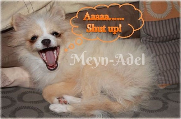 Browdeen Elvira Pintaros - Cream Parti Factor Pomeranian in Uglies - Shut Up!