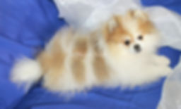 Cha Troy Rolo - Cream Sable Pomeranian