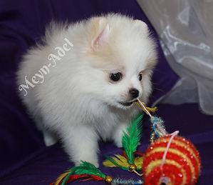 Meynadel Valkea Lilja - Cream Parti Pomeranian Playing