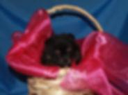 Meynadel Audacia Carino - Black & Tan Pomeranian