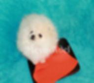 Meynadel Winzige Krumel - Cream Pomeranian waiting for food