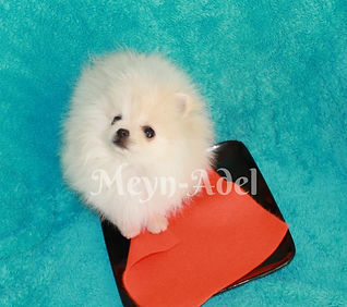 Meynadel Winzige Krumel - Cream Pomeranian waiting for food