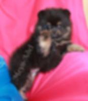 Meyn-Adel Audacia Carino - Black & Tan Pomeranian