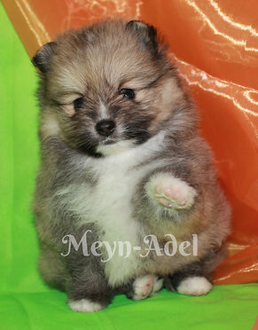 Meynadel Tablou Es Zenon - Orange Sable Parti Factor Pomeranian giving paw