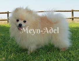 Elvio Cesar'oso - Cream Pomeranian