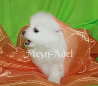 Meynadel Valko Lu'Myrsky - White Pomeranian Puppy Playing