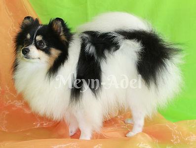 Meynadel Trilizo Mirabel - Tri Parti Pomeranian
