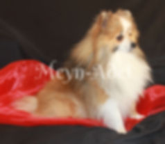 Painted Zorro - Orange Sable Parti Factor Pomeranian